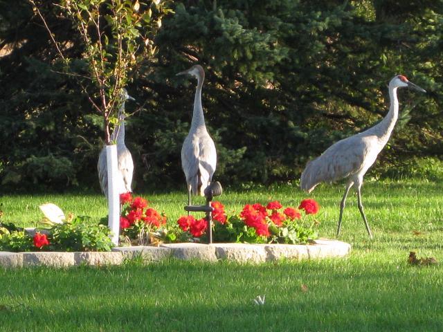 008 Cranes 12